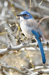 Western Scrub Jay standing on a branch