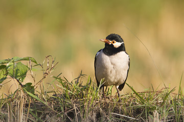 Asian pied starling bird in Nepal