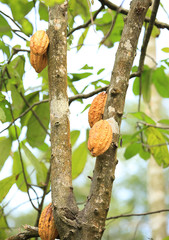 cacao fruits grow on tree