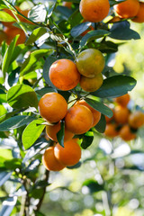 fresh orange on plant, orange tree