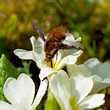 Beetle pollinate flower blossom