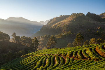 strawberry garden at doi angkhang mountain, chiangmai : thailand