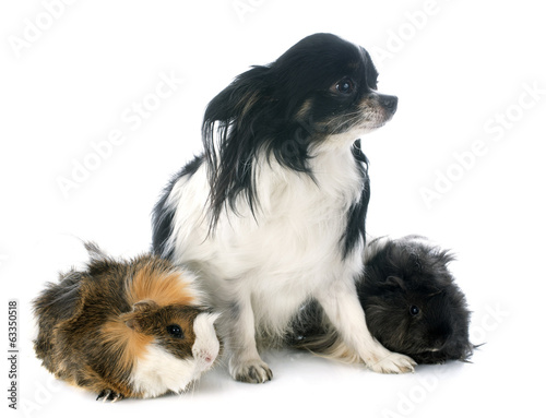guineal pig and chihuahua