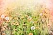 Dandelion in spring