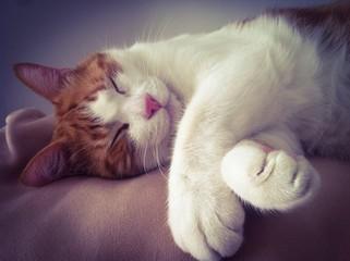 Gato gordo durmiendo