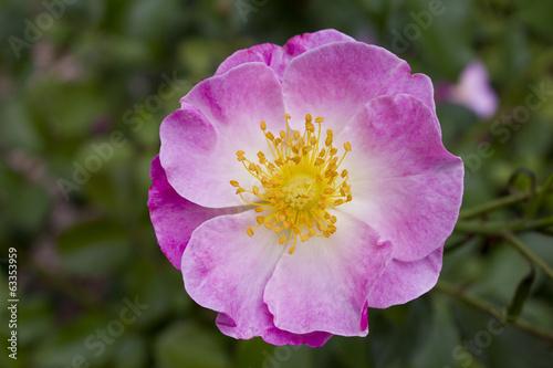 fleur glantier rosa canina rose photo libre de droits sur la banque d 39 images. Black Bedroom Furniture Sets. Home Design Ideas