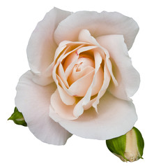 Rose blanche Rose Flower romance Isolated