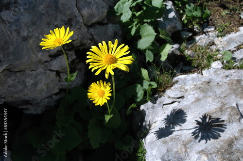 Yellow arnica flower