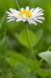 Impressive Detail - Daisy