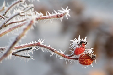 Frosted Rose Hip Berries