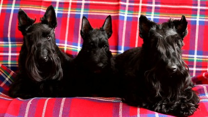 family of three Scottish Terrier