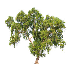 Acacia auriculiformis, tropical tree isolated on white