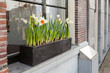 Narcissus flowers grow on the windowsill in Amsterdam