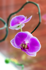 Tropical Orchid Phalaenopsis against window glass close up