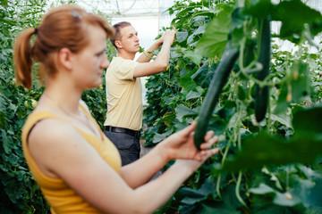 Farmers picking cucumbers in greenhouse