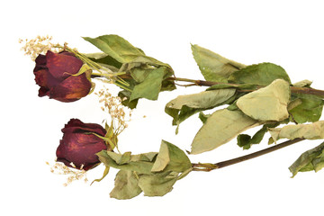 Dried Stalks Of Rose Flower