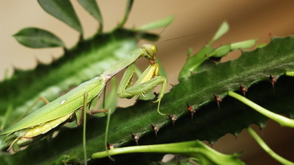 Mantis on Green Leaf