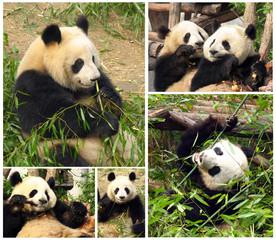 Collage of eating bamboo giant pandas