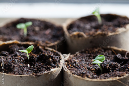 Basil Seedlings Germinating in Pots