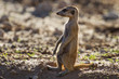 Suricate sentry standing in the early morning sun looking for po