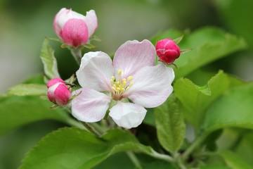 apfelblüten mit kleiner fliege / apple blossoms with small fly