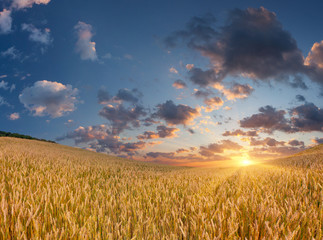 Wheat field at the summer sunrise