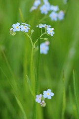 Acker-Vergissmeinnicht / Field forget-me-not