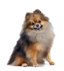 Pomeranian (spitz) dog on black background