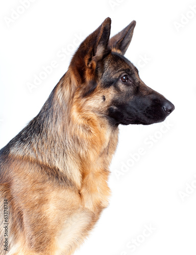 German Shepherd portrait on white background.
