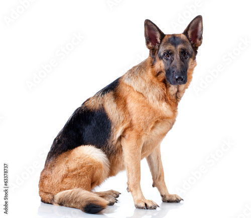 German Shepherd on white background.