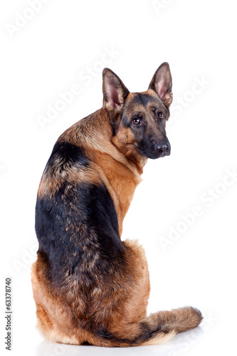 German Shepherd on white background, sitting down.