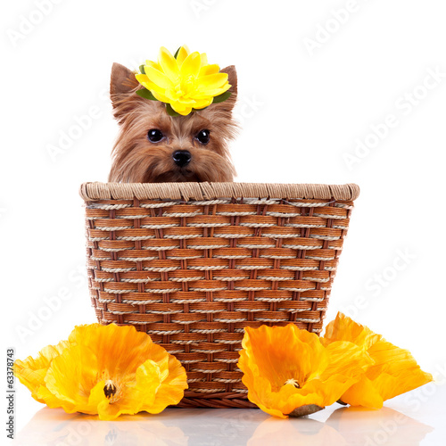 Yorkshire Terrier isolated on white background, sitting in crib.