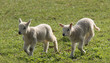 Two Newly Born Lambs Running in a Meadow.