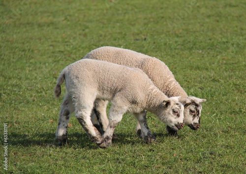 Two Baby Lambs Eating Grass in a Field.