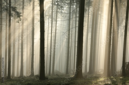 Sun rays pass through trees in a coniferous forest