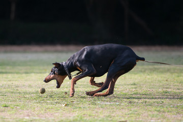 Doberman trying to catch a ball