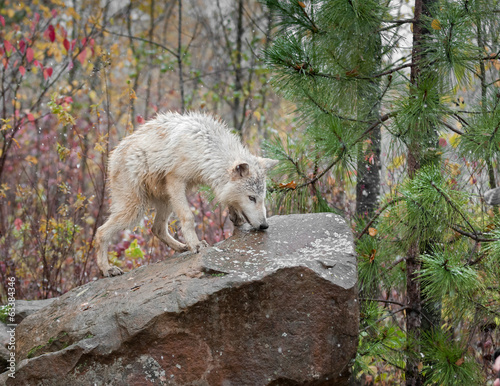 Blonde Wolf (Canis lupus) on Rock