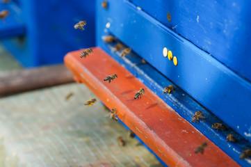 Bienen landen im Bienenstock