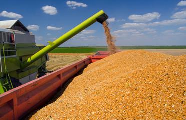 Combine harvester unloads wheat grain into trailer