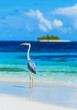 Grey heron on Maldives island