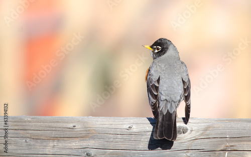 American robin back view