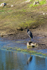 Tricolored Heron at water edge