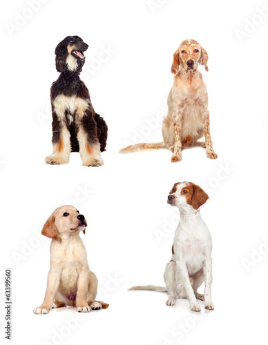 Four dogs of different races sitting