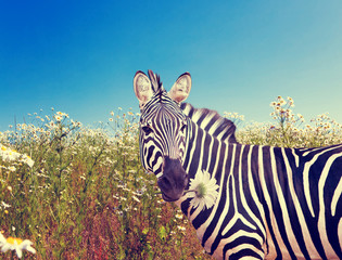 Zebra with a camomile ,with a retro effect