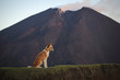 Dog against a volcano Pacaya in Guatemala, Central America