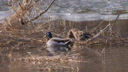 Couple of wild mallards arrived from wintering to nesting places