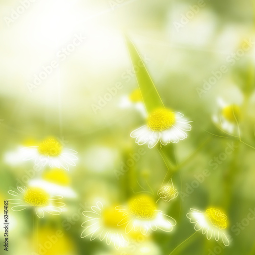 Fresh chamomile, spring background.