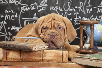 French Mastiff puppy with books