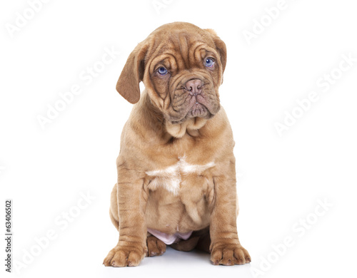 French Mastiff puppy  over white background