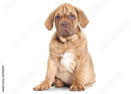 Puppy of Dogue de Bordeaux (French mastiff)